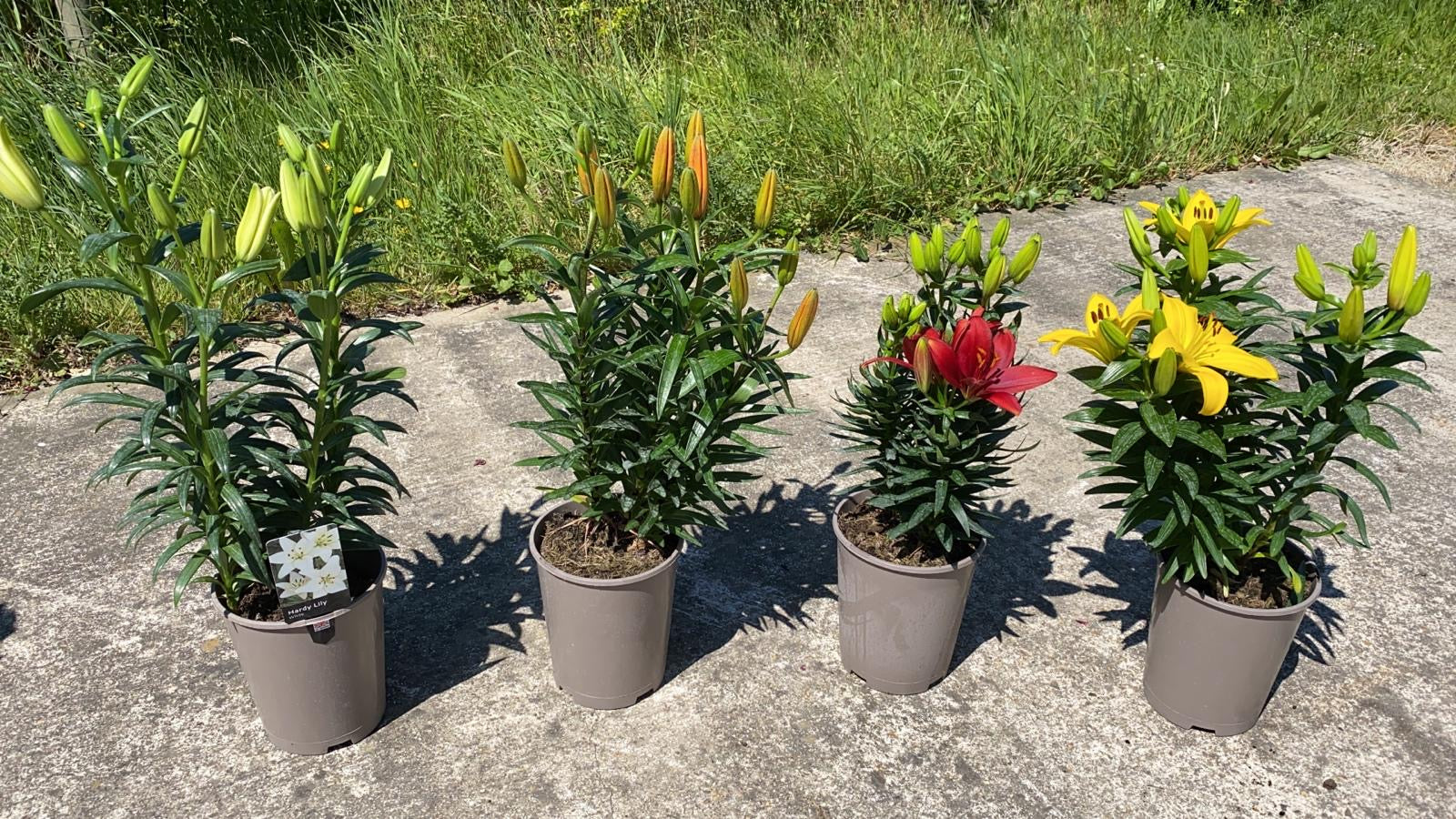 Lily Collection 4 X 3L
