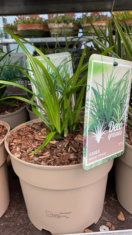 Carex Morrowii Irish Green Grass 3L Pot