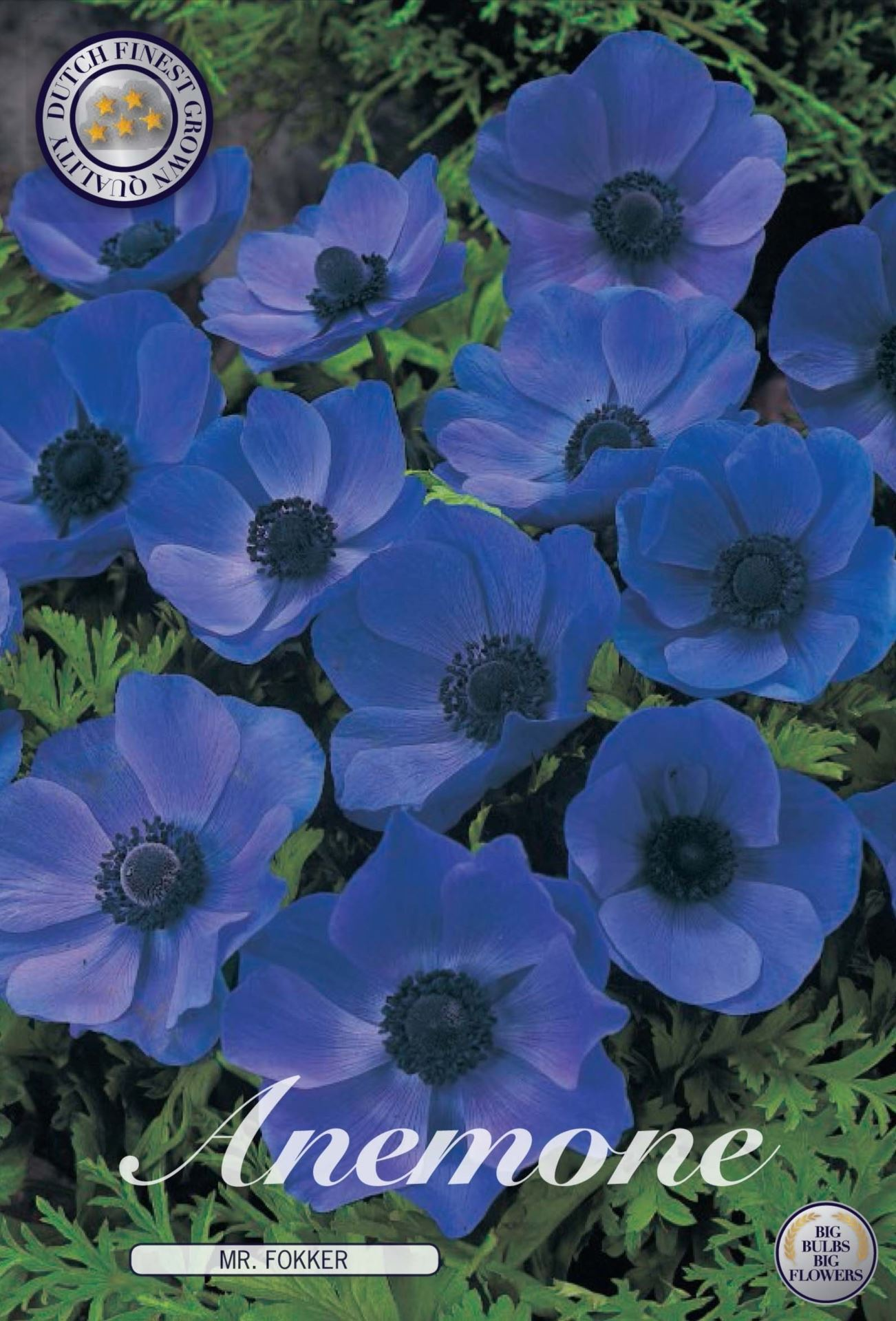 Anemone Mr Fokker Bulbs