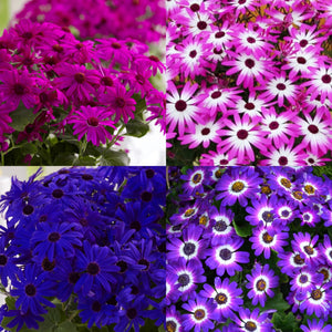Senetti Colour Collection