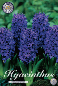 Hyacinth Purple Sensation Bulbs