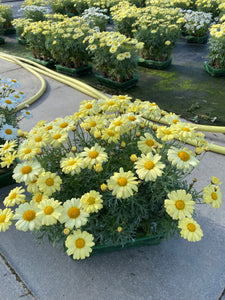 Yellow Marguerite Daisy 6 Pack