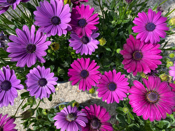 Purple Osteospurmum Collection