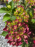 Hydrangea Hot Red Purple