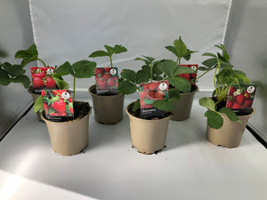10.5cm Strawberry Collection