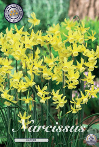 Narcissi Hawera Bulbs