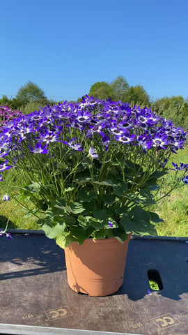 Promotion 5L Senetti Blue Splash