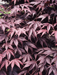 Acer 'Bloodgood' 40L Pot