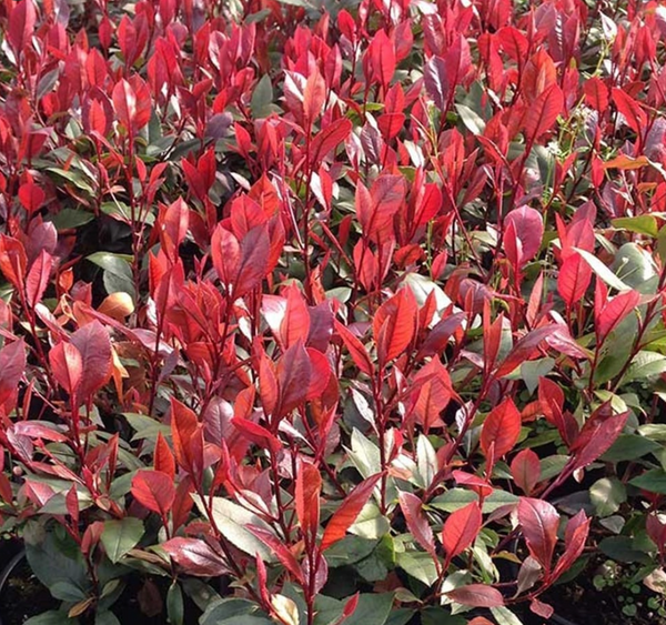 Photinia Red Robin 7.5L Pot