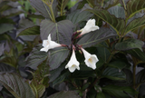 Weigela Florida Ebony & Ivory 4L Pot