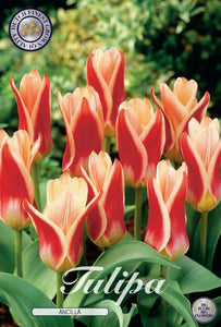 Tulip Ancilla Bulbs