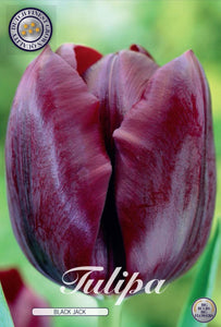 Tulip Blackjack Bulbs
