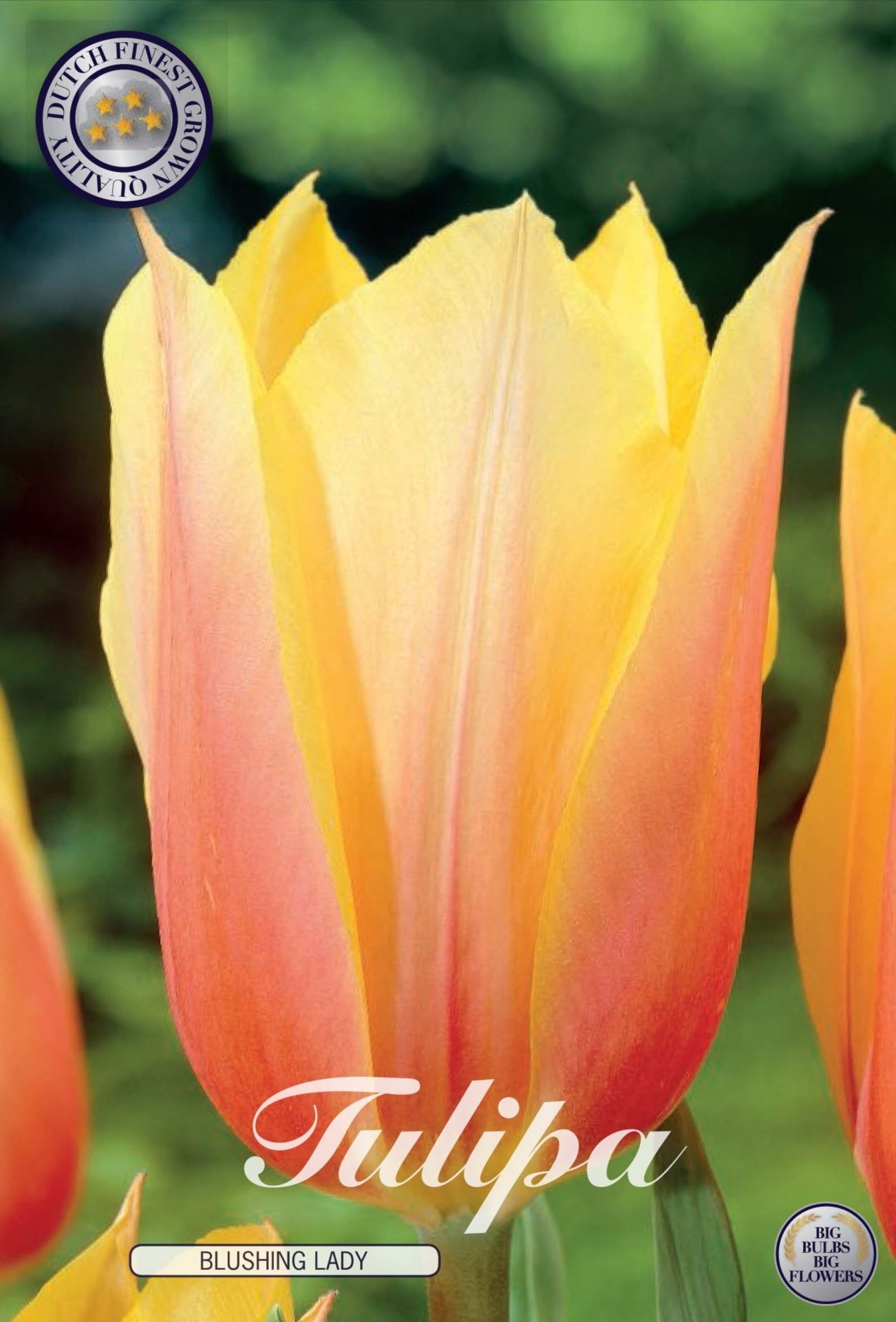Tulip Blushing Lady Bulbs