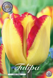 Tulip Cape Town Bulbs