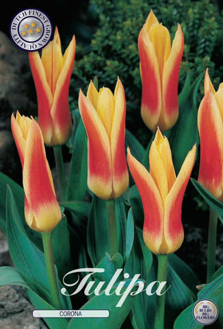 Tulip Corona Bulbs