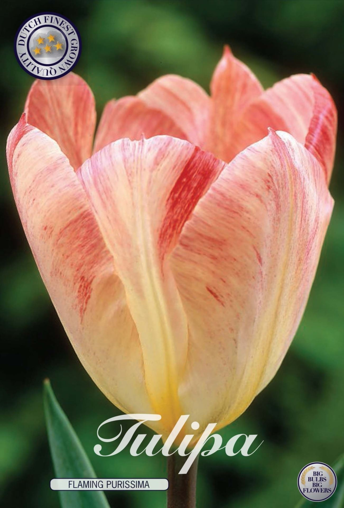 Tulip Flaming Purissima Bulbs