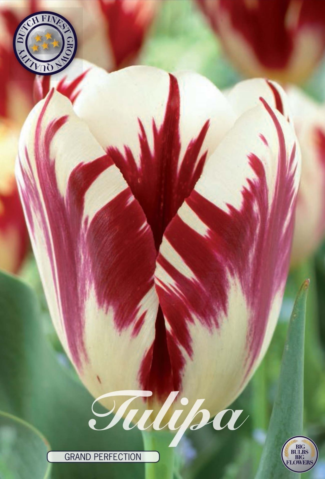 Tulip Grand Perfection Bulbs