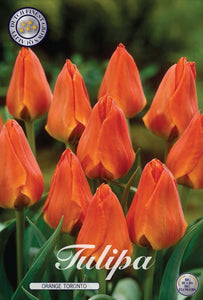 Tulip Orange Toronto Bulbs