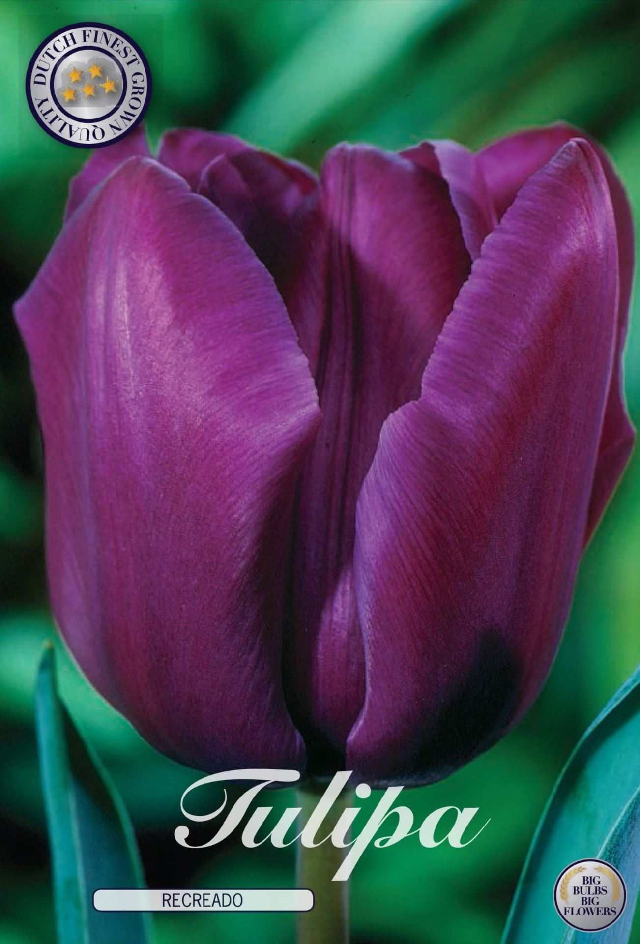 Tulip Recreado Bulbs