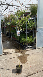 Salix 'Flamingo' Standard 5L Pot