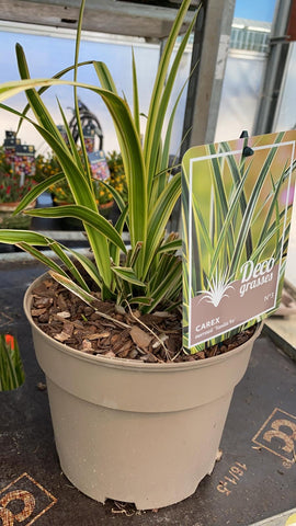 Carex Morrowii Vanilla Ice Grass 3L Pot