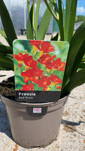 Freesia Red River 2L