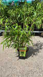Bamboo Robusta Formidable 17cm Pot