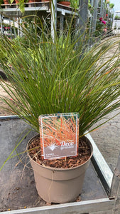 Prairie Fire Grass 3L Pot
