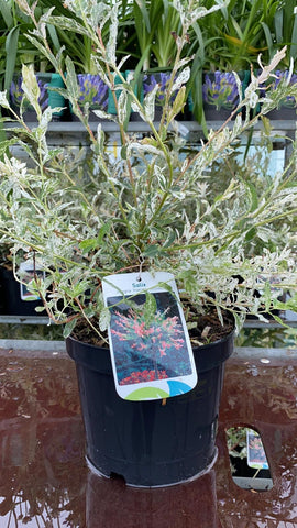 Salix 'Flamingo' Bush 3L Pot