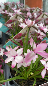 Pale Pink Star Grass 12cm Pot