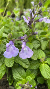 Salvia So Cool Pale Blue 21cm Pot
