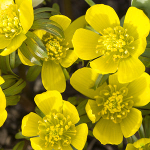 Winter Aconite 9cm