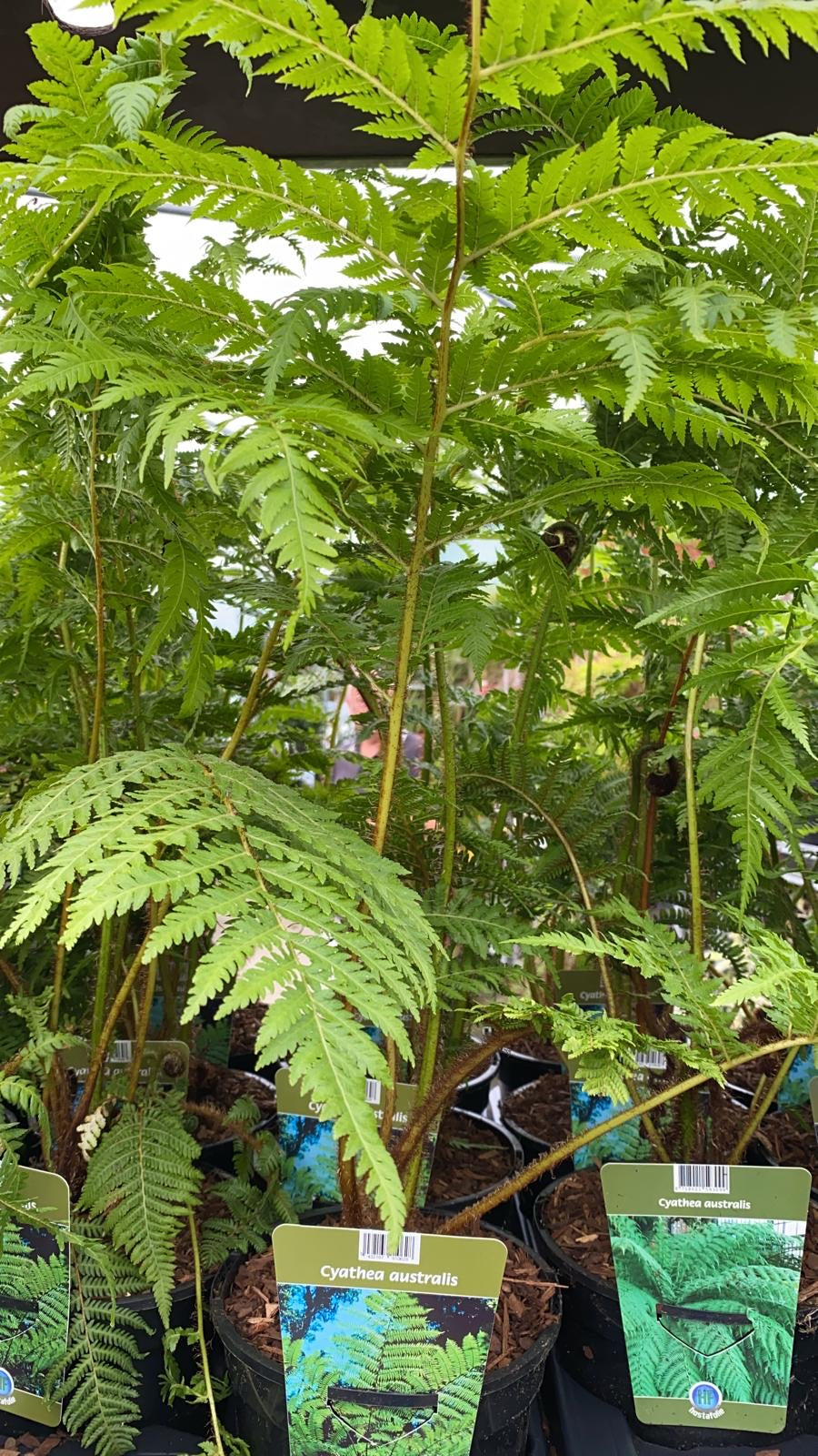 Tree Fern 17cm Pot