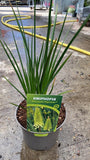 Red-Hot Pokers 2L Pots