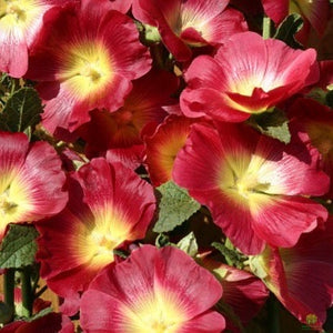 Hollyhock Halo Red 1L