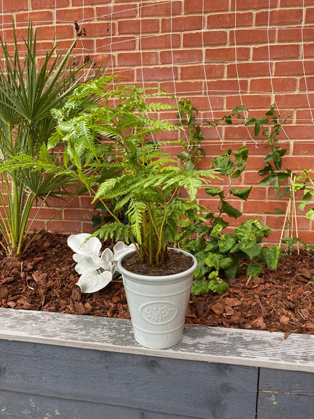 Tree Fern in an Olive Green Planter