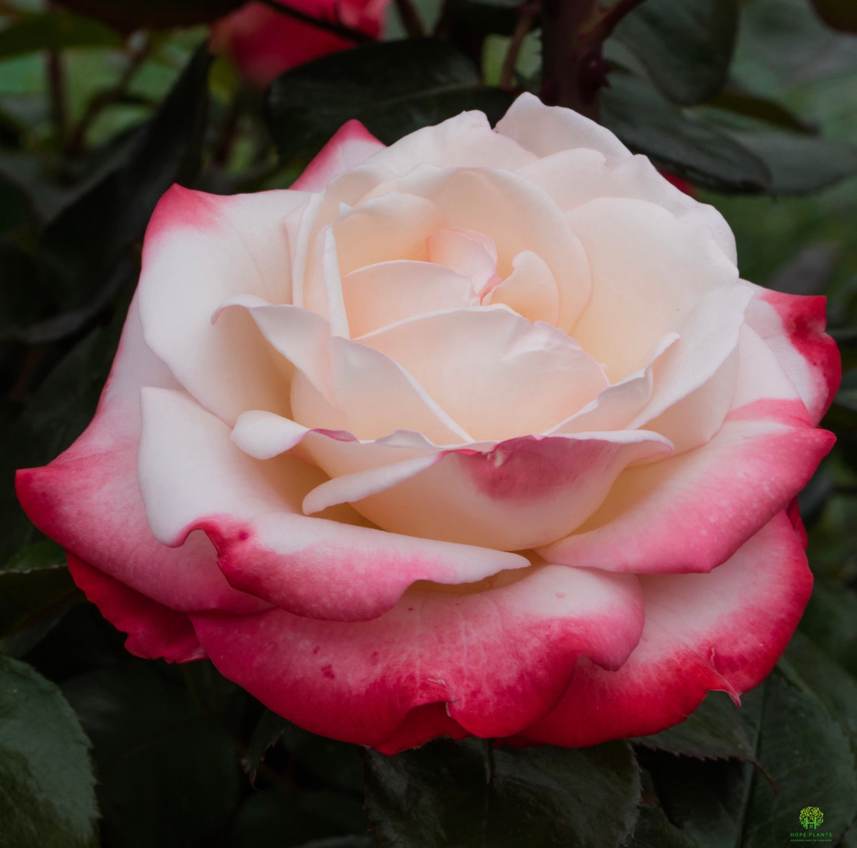 Hybrid Tea Rose Nostalgia 3L