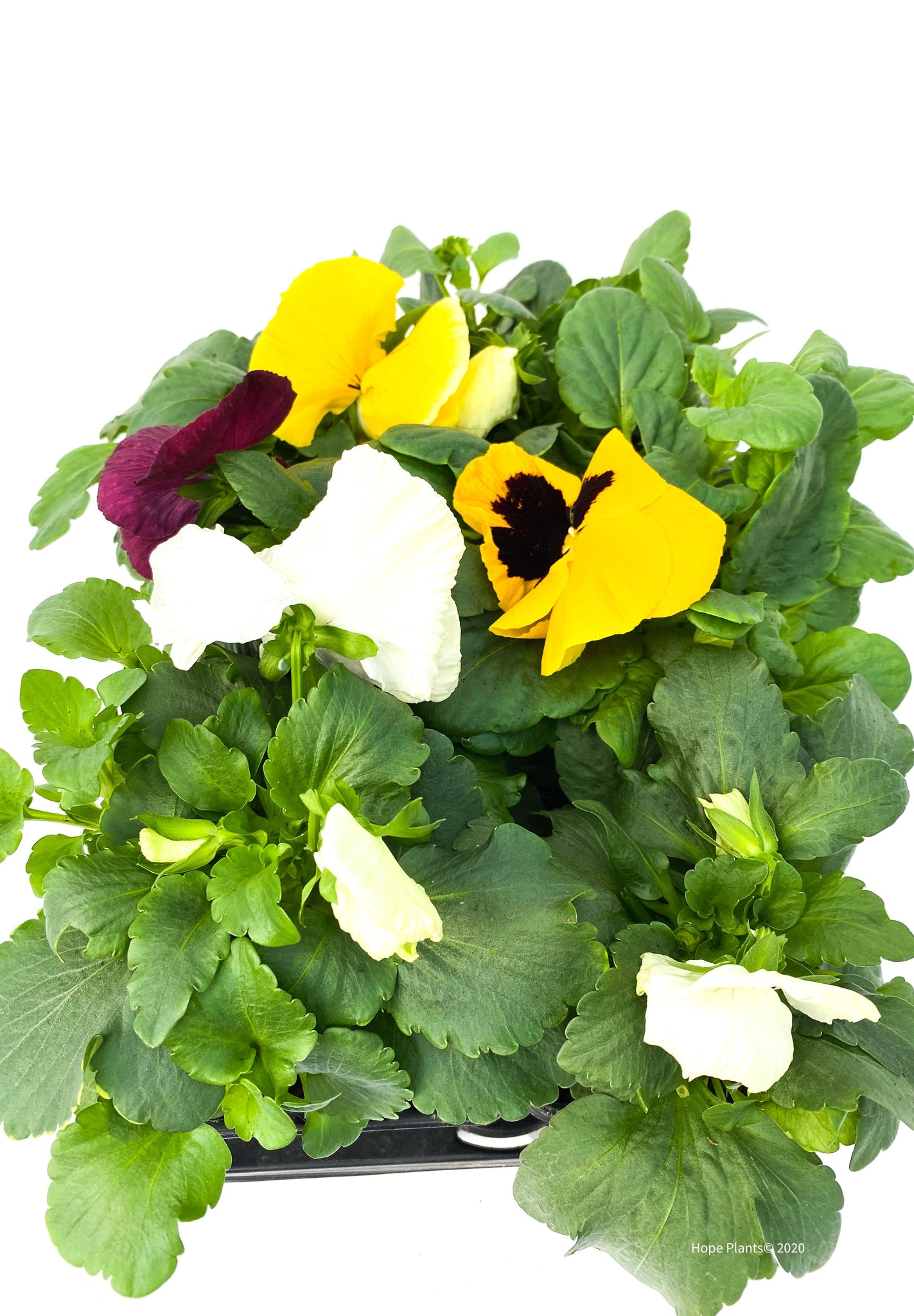 Assorted Pansy Jumbo 6 Pack