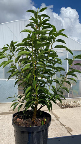 Portuguese Laurel Hedge 23cm Pot