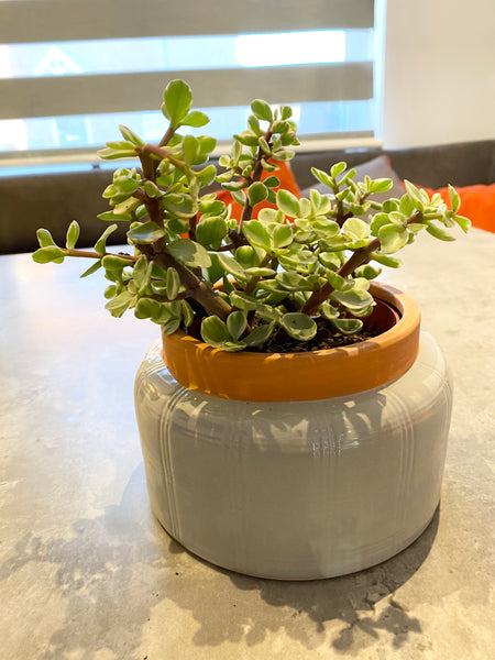 House Plant - Succulents