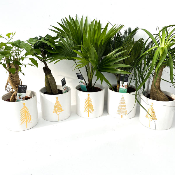 Christmas Houseplant Collection
