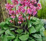 Heart-Leaf Bergenia 20cm Pot