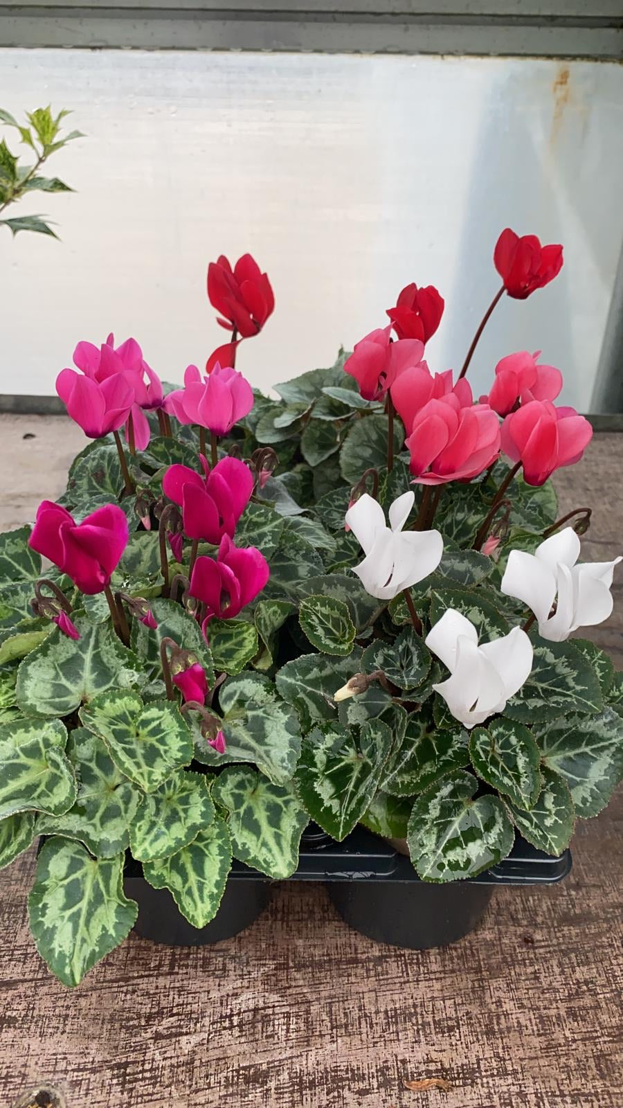 Mini Cyclamen 9cm Mixed 6 Pack