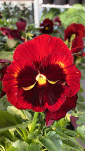 Pansy 6 Pack - Red Blotch