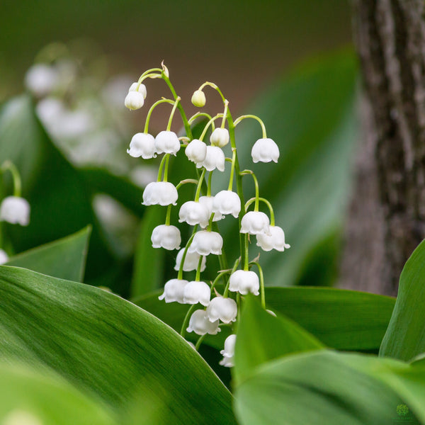 Lily of the Valley 10cm