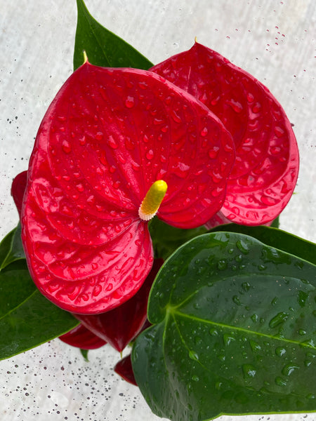 Anthurium in a Bronze Crackled Ceramic Pot