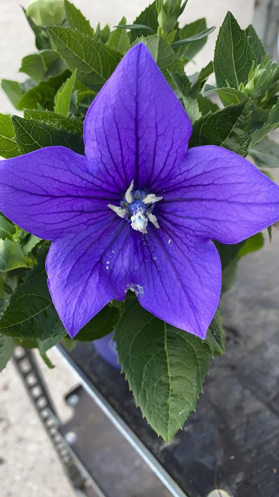 Balloon Flower - Blue 1L Pot