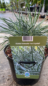 Ficinia Truncata Ice Crystal 17cm Pot