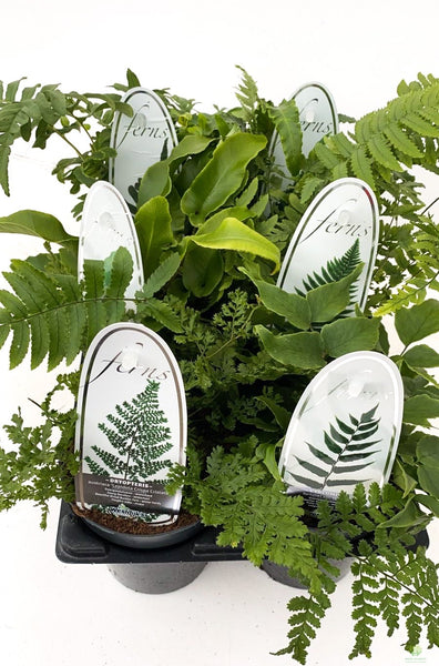 Fantastic Fern Collection