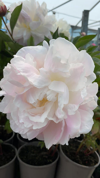 Peony Collection 3 x 3L